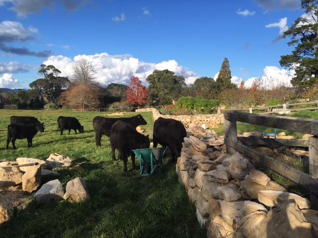 Cattle inspecting Ashton Park's dry stone wall