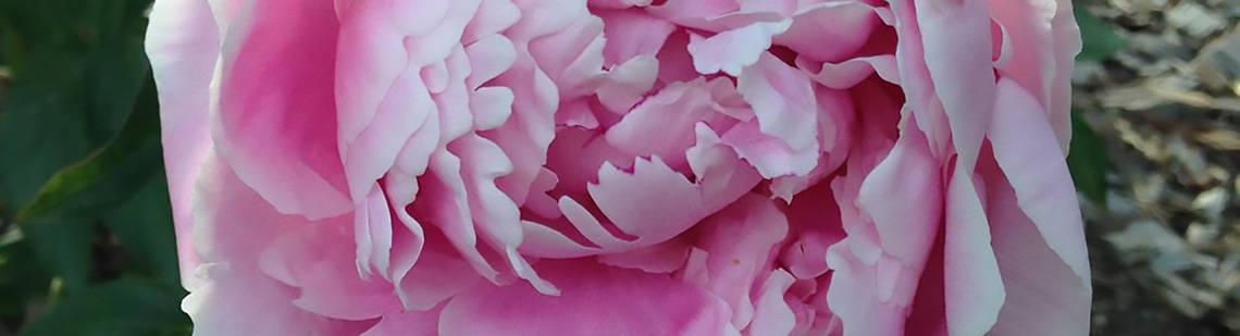 Ashton Park Summer Rose